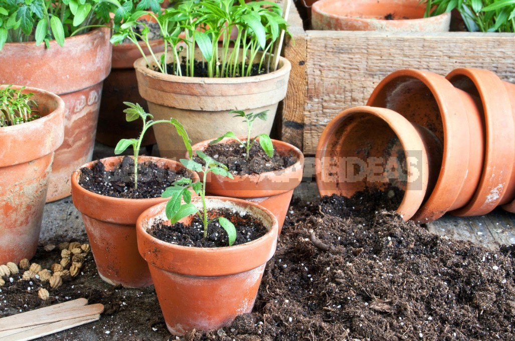 When And How To Sow Early Tomatoes: Sharing Our Secrets