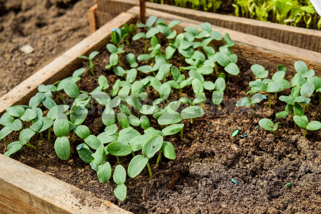 3 Unusual Ways of Sowing Cucumbers. Are They Really Effective