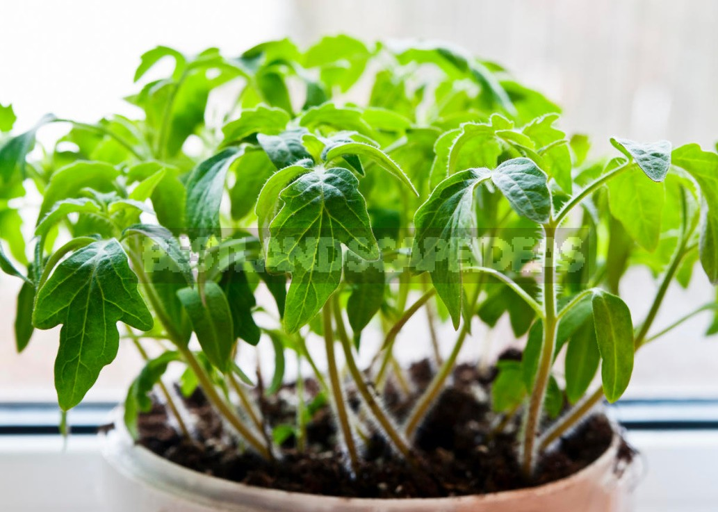 A Simple Way To Grow Tomatoes Without Extra Effort And Expense