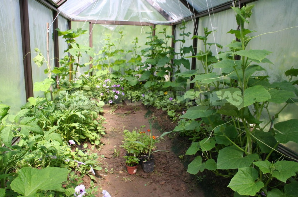 Annual Flowers: Growing And Using In The Garden (Part 2)