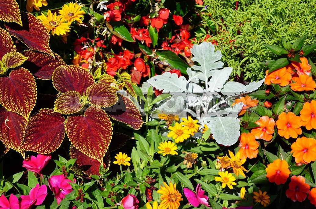 Annual Flowers: Growing And Using In The Garden (Part 1)