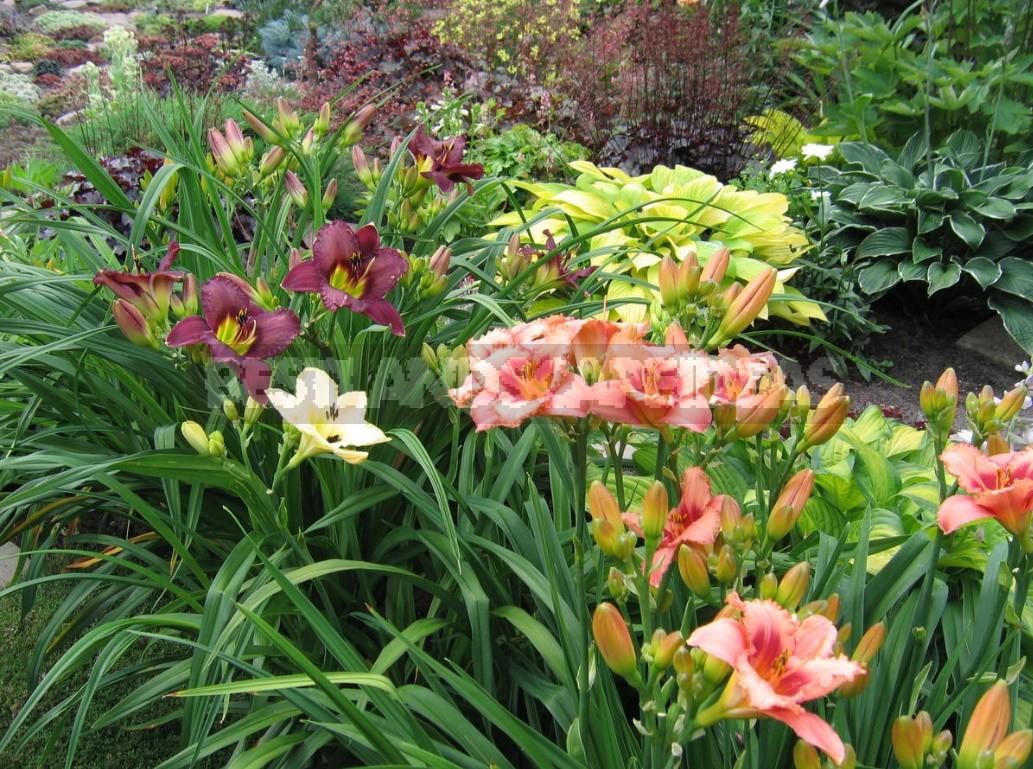 Daylilies In Garden Design