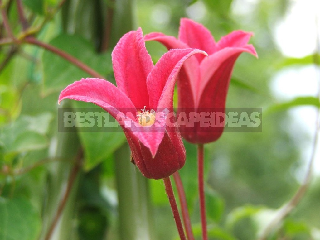 Favorite Varieties Of Clematis - The Opinion Of The Collector