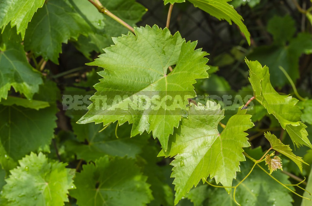 What Are The Benefits Of Grapes, Their Seeds And Leaves (Part 3)