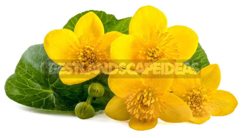 Caltha Palustris - The Brightest Messenger Of Spring