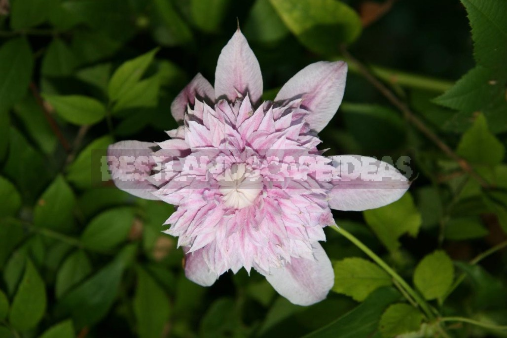 Clematis In All Its Glory: How To Achieve Good Flowering