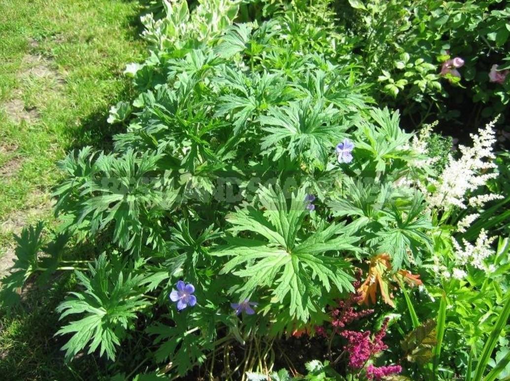 Geraniums Are Not Pelargoniums! Types And Varieties Of Geraniums (Part 1)