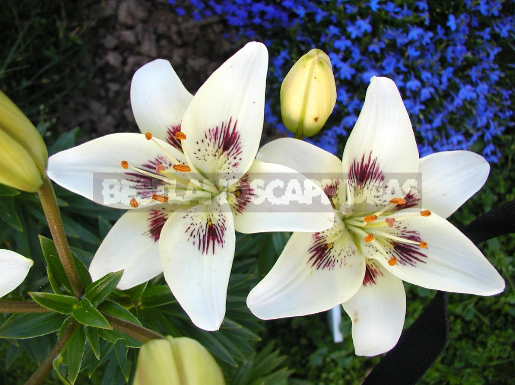 How To Plant Grow Care For Lilies In The Garden Best