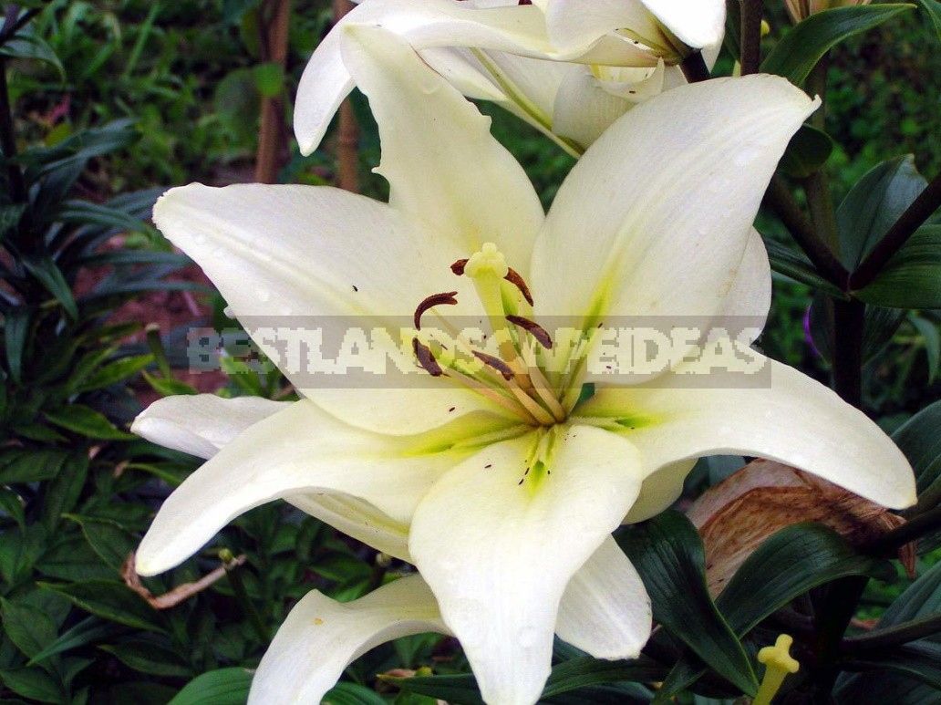 In The Kingdom Of Lilies: Features Of Asian, Eastern And Tubular Hybrids