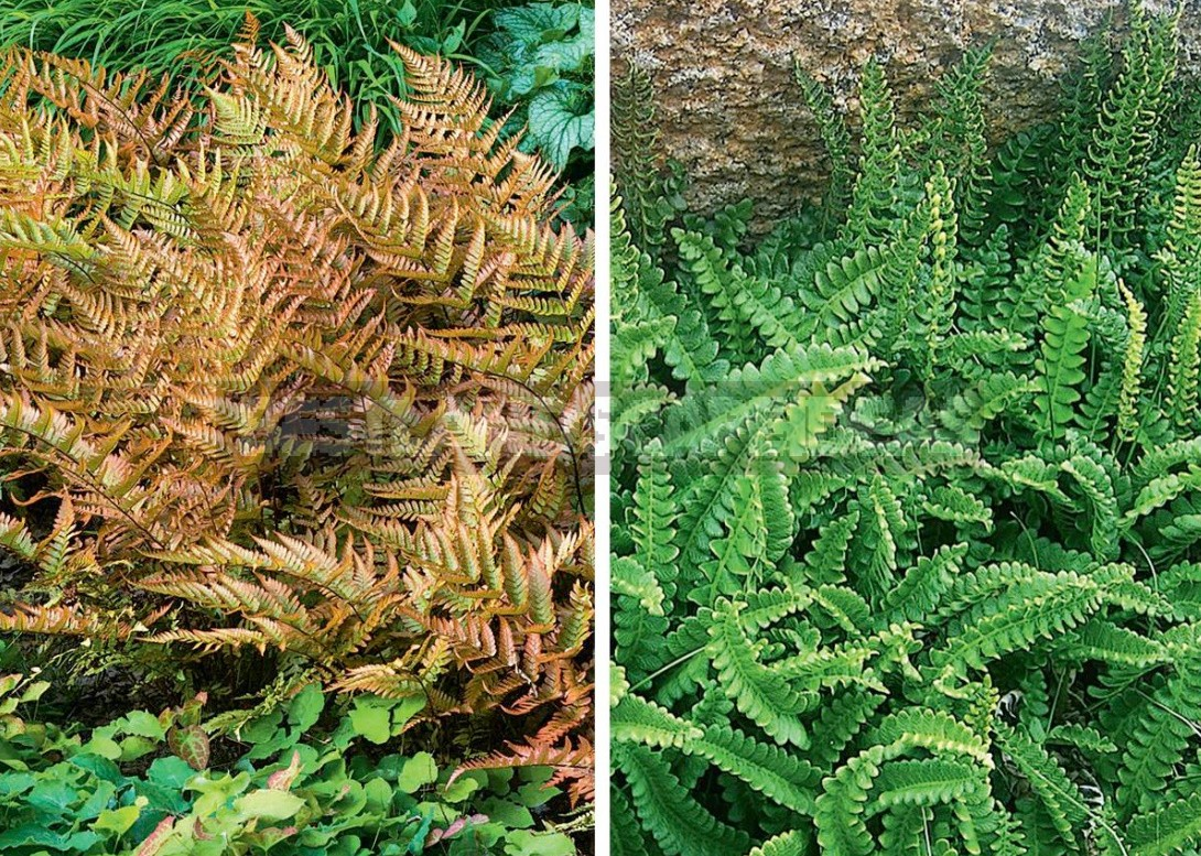 The Leaves Of a Fan: The Species Of Ferns And Their Characteristics