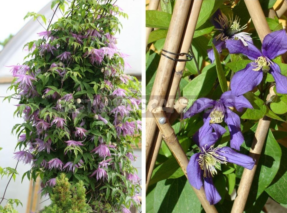 The Main Rules Of Care For Clematis