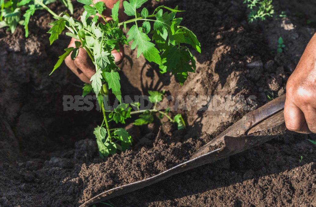 Tomato Seedlings: How To Prepare The Soil And Properly Plant Plants In a Permanent Place