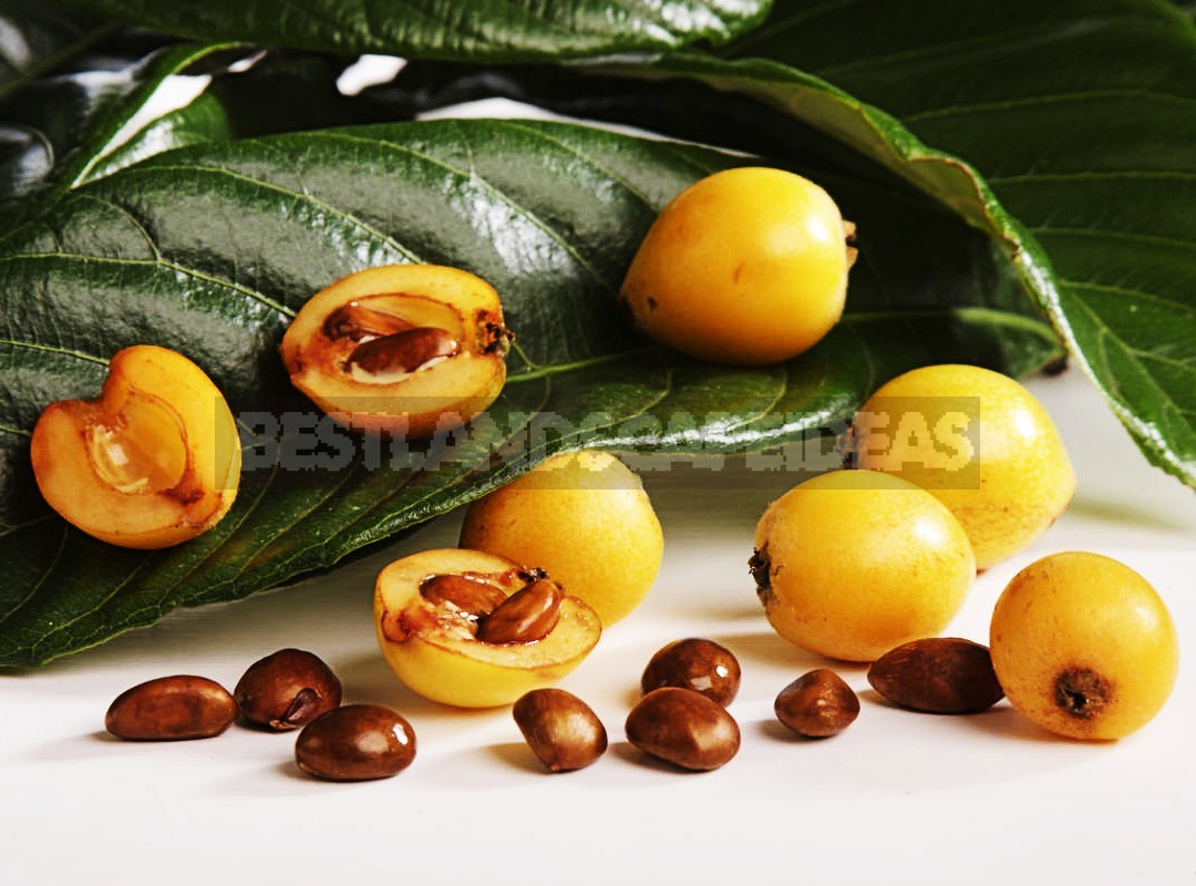How To Plant And Care For Medlar