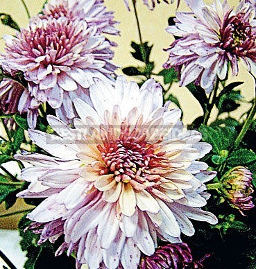 How To Plant And Care For Chrysanthemum