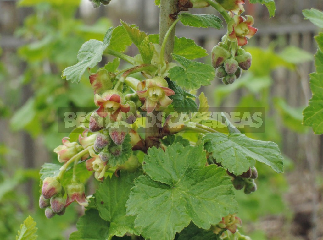 Cecidophyopsis Ribis On Currant: How To Deal With It