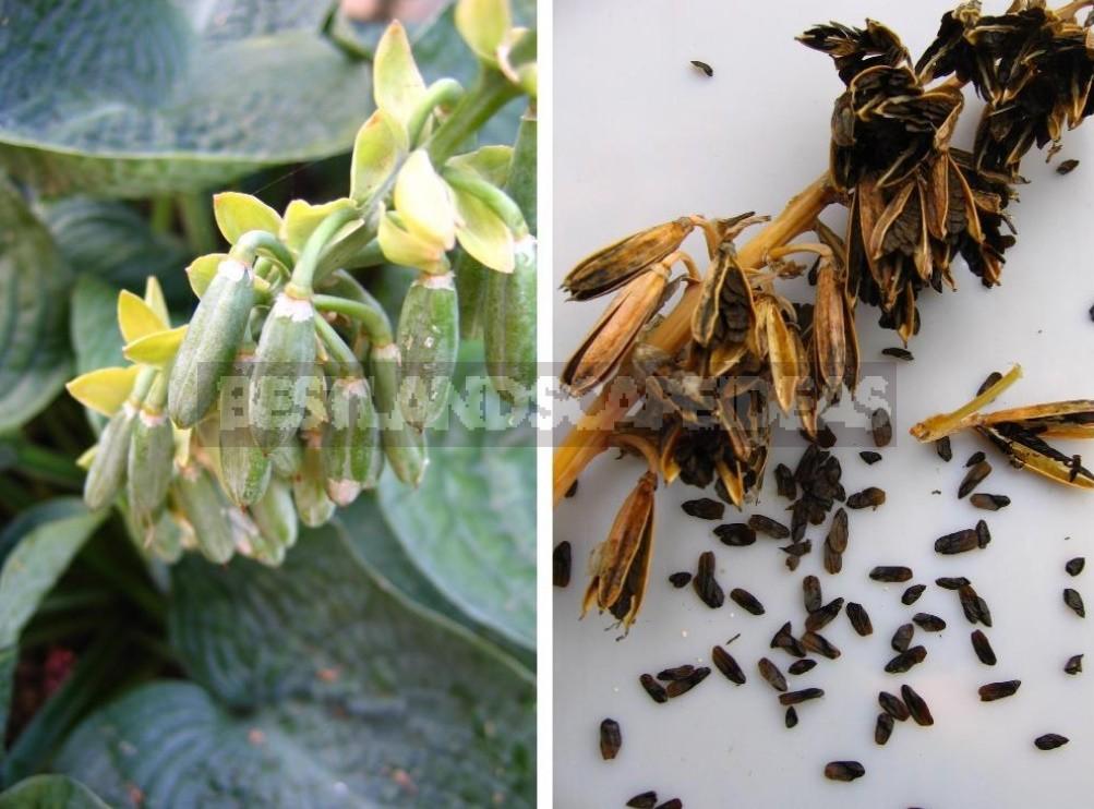 Hosta And Its Secrets: Breeding Nuances