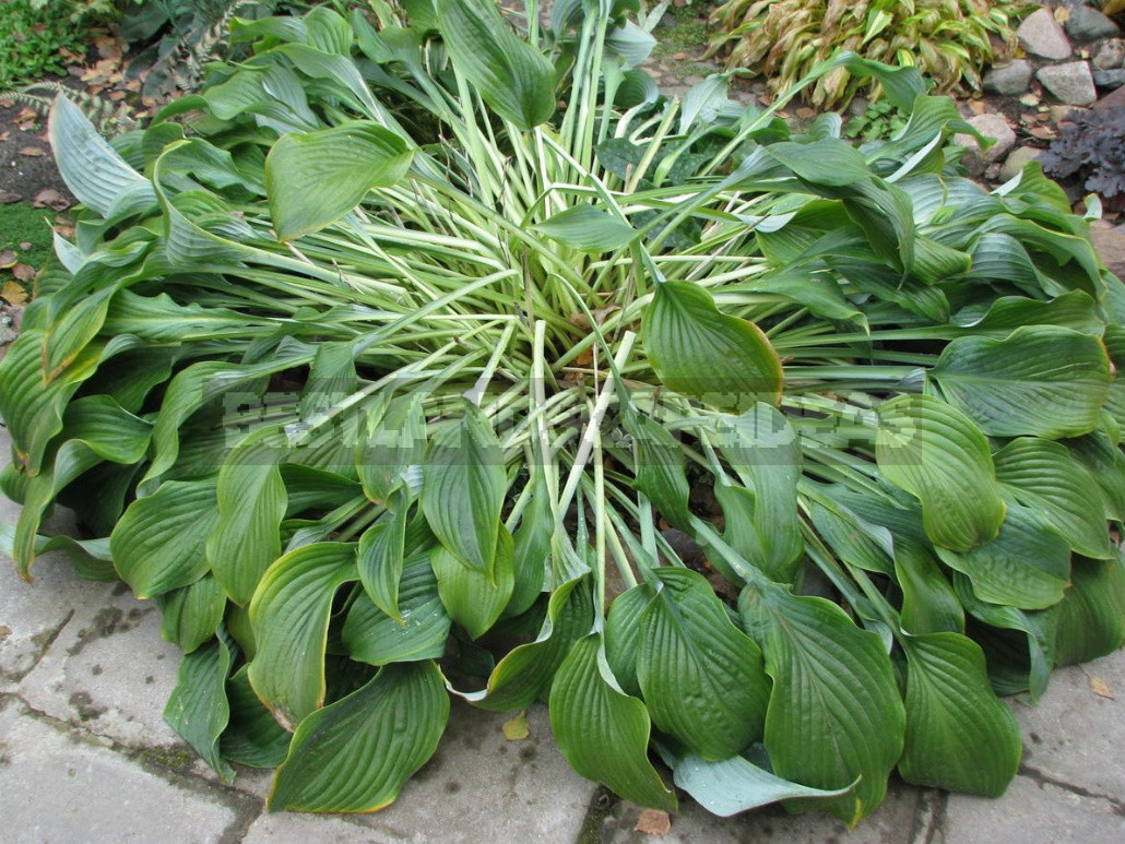 Hosta And Its Secrets: Nuances Of Growing And Care