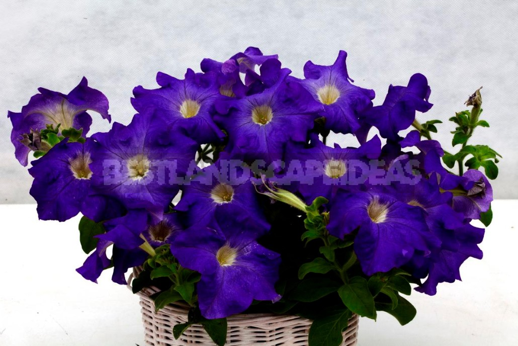 Petunias That Bloom Continuously: Growing The Latest Hybrids