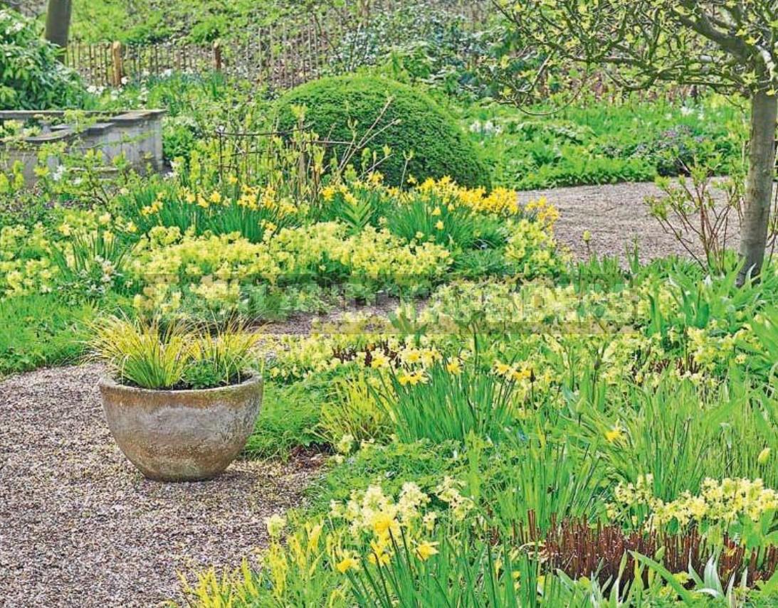 Primula - Prima Of The Spring Garden