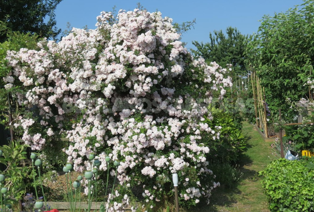 Climbing Roses In The Garden: Types, Varieties, Placement, Photos