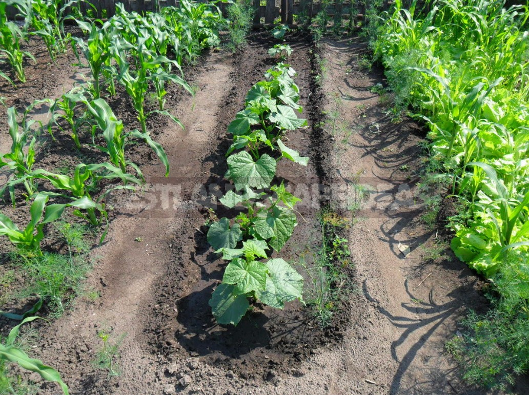 Cucumbers In The Open Ground It's Time To Prepare The Beds