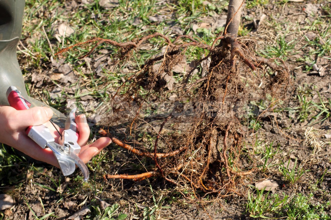 Detailed Instructions On How To Bookmark An Orchard. How To Plant Trees Without Errors (Part 2)