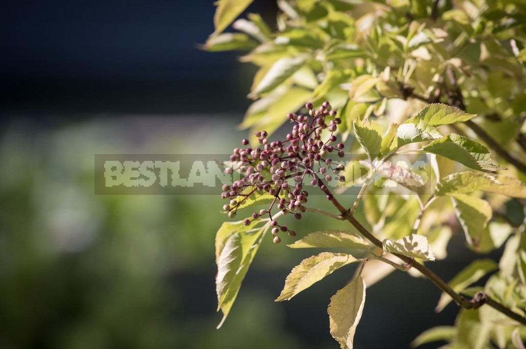 Elderberry: Types And Varieties, Cultivation And Care (Part 2)