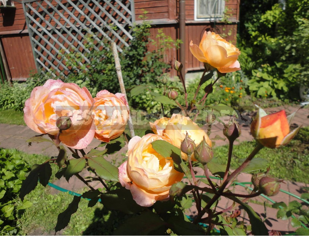 English Roses: Varieties, Photos. Tips For Buying And Planting (Part 1)