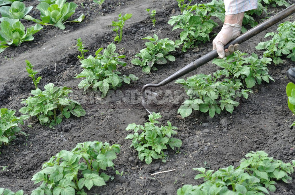 How To Grow Potatoes Under Straw