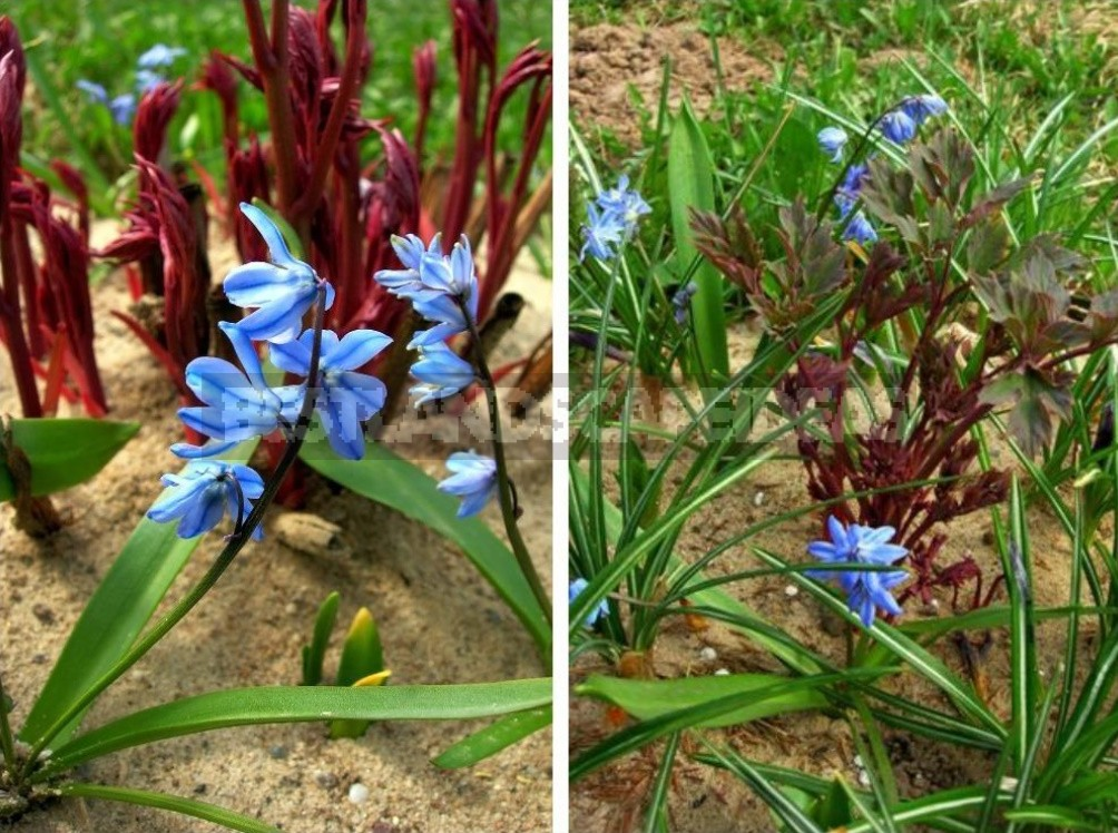 Small Bulbous Plants In The Spring Garden (Part 2)