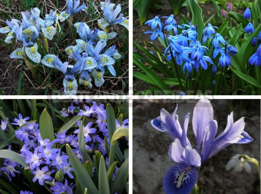 Small Bulbous Plants In The Spring Garden (Part 1)