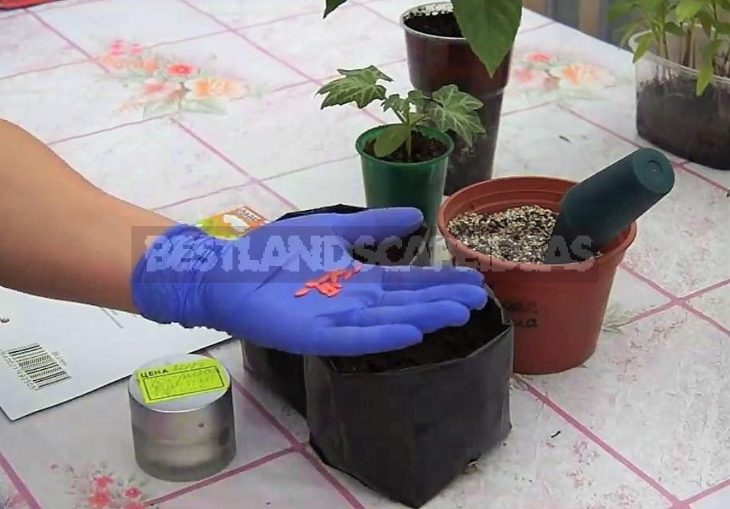 Sowing Cucumbers In Plastic Bags