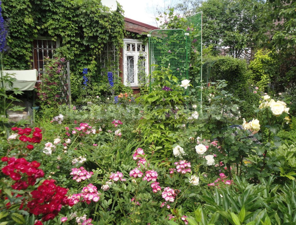 The Care Of Roses From Spring To Fall: Tips For Beginners And Not Only (Part 2)