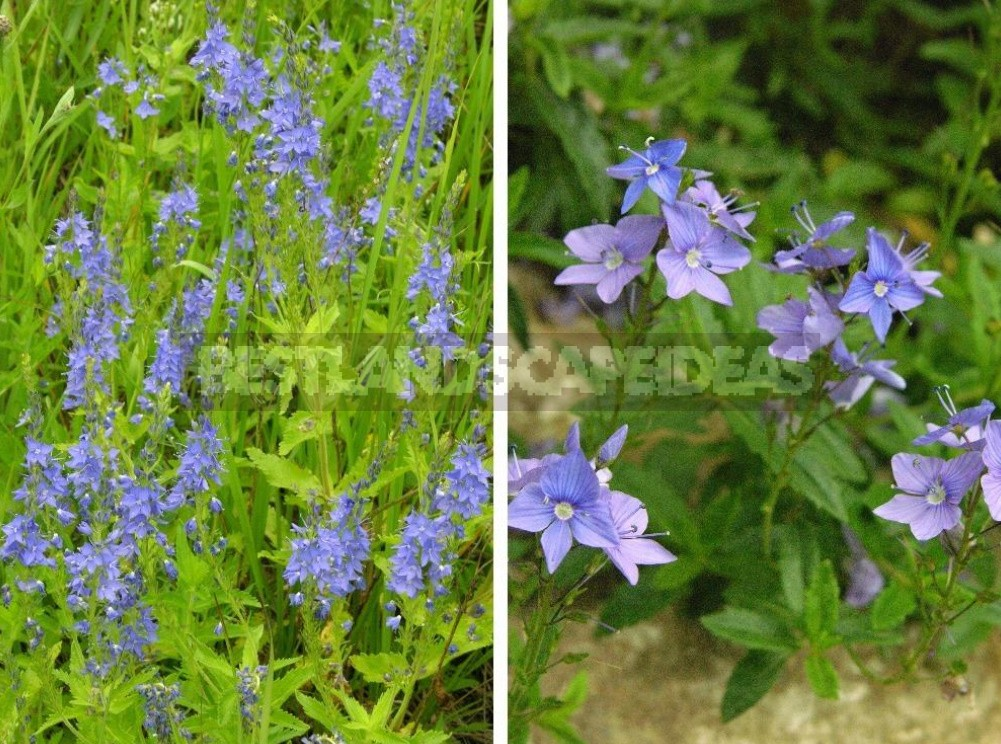 Veronicas: Common Species And Their Varieties (Part 2)