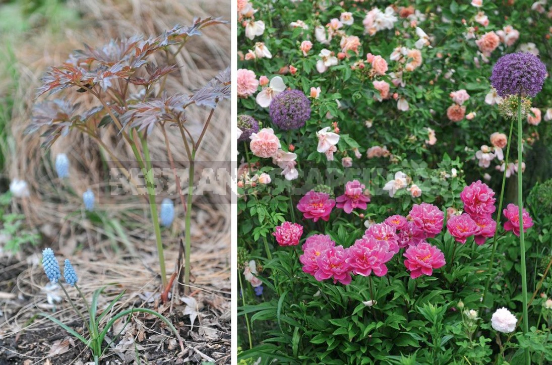 10 Tips For Peony Lovers