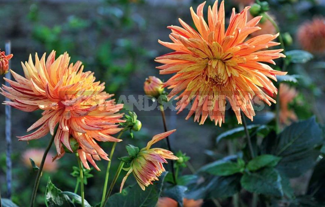 Dahlias In The Flower Garden Choose Partners