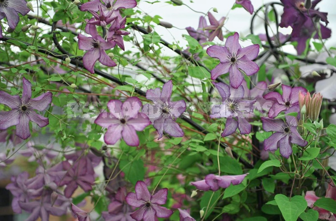 Large-Flowered Clematis x Jackmanii And Clematis Viticella: Care, Varieties, Photos