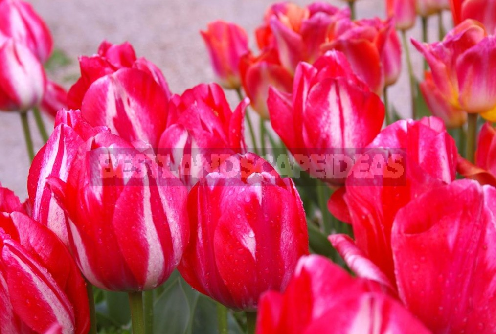 Red Tulip. Photos, Varieties, Care Tips.
