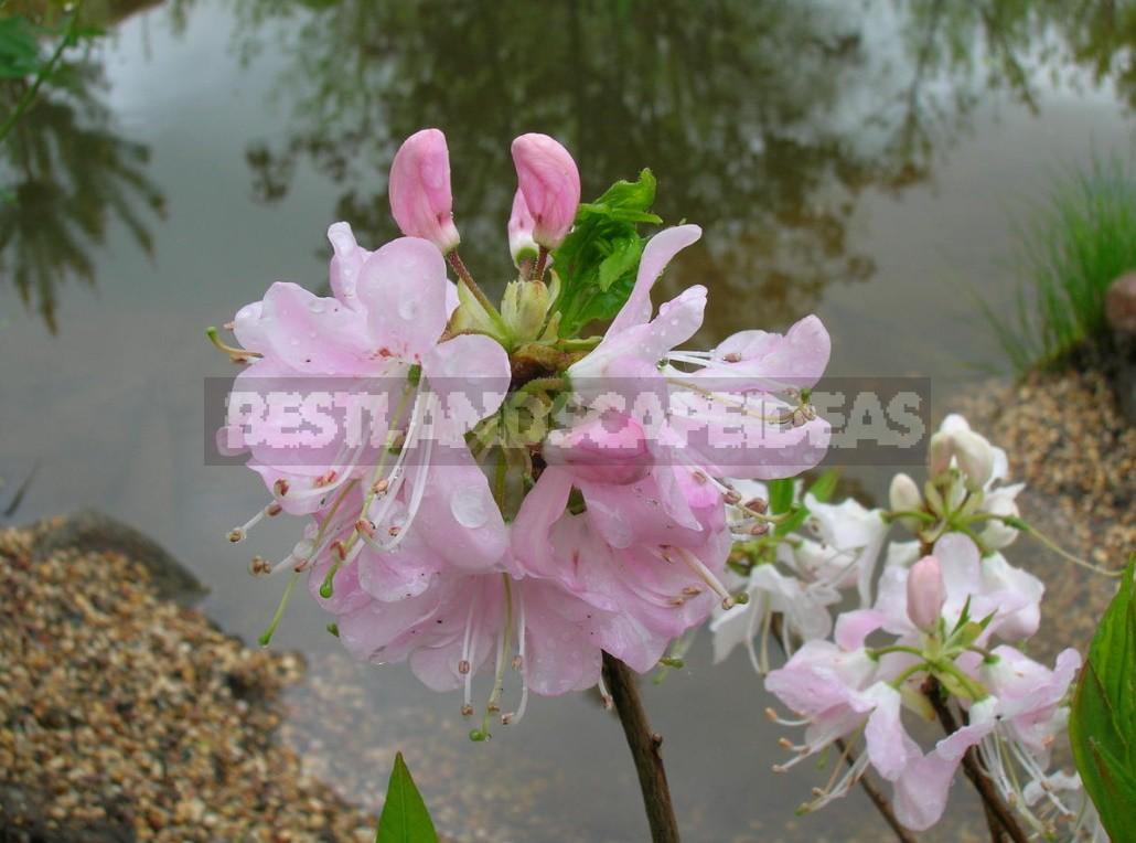 Seven main rules for good rhododendron flowering