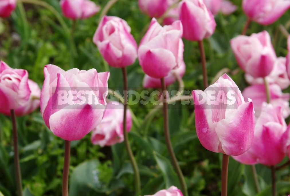 Tulip Parade: The Most Spectacular Varieties