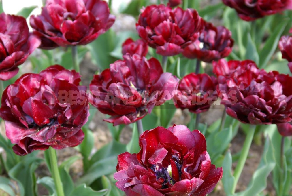 Tulips With a Twist: Terry, Parrot And Other Rarities (Part 1)