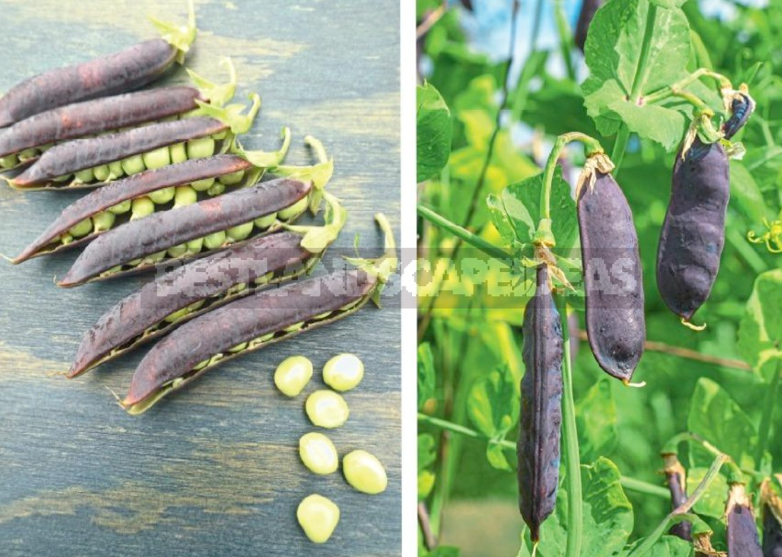 Unusual Varieties Of Peas: Purple And Leafless