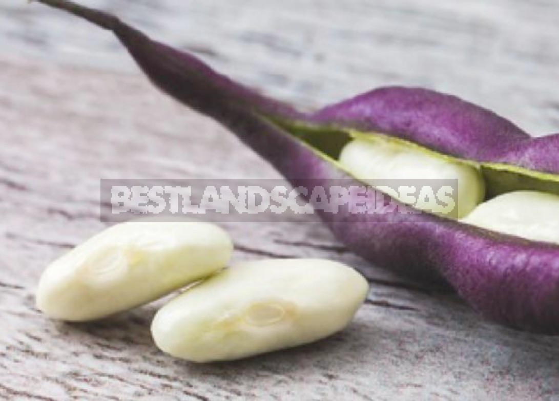 Varieties Of Asparagus Beans: Choose By Color, Terms And Conditions Of Cultivation