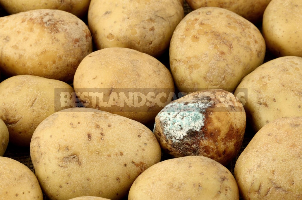 Can I Plant Potatoes From The Store?