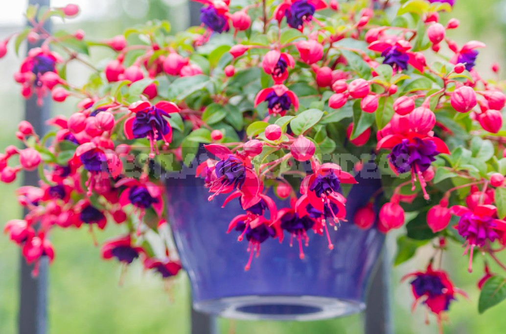 Features Of Growing Fuchsias In The Garden