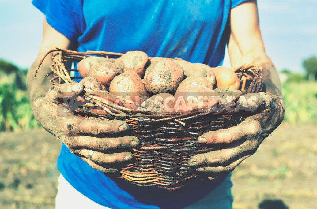 Fertilization Of Potatoes: The Rules And Terms Of Dressing (Part 1)