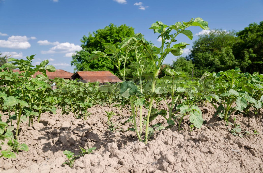 Fertilization Of Potatoes: The Rules And Terms Of Dressing (Part 2)