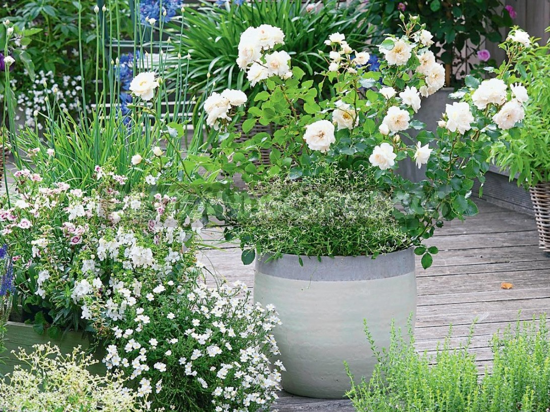 Garden Roses In Pots: Features Of Care And Composition