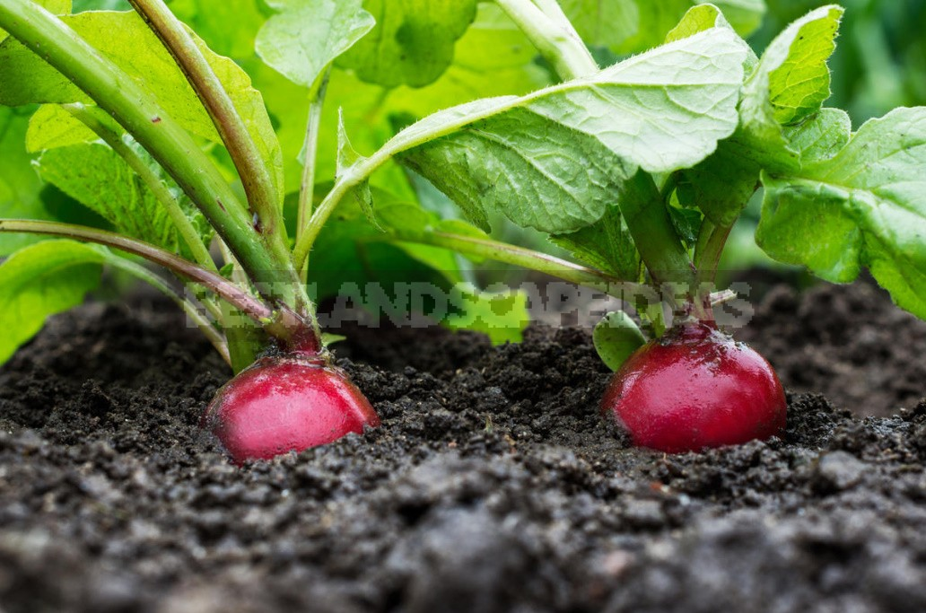 How To Grow Large Radishes: Soil Preparation, Watering And Fertilizing