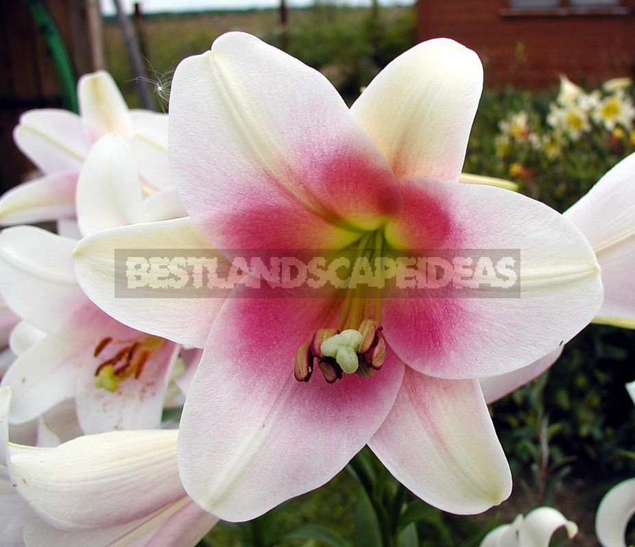 In The Kingdom Of Lilies: Features Of Interspecific Hybrids (Part 2)